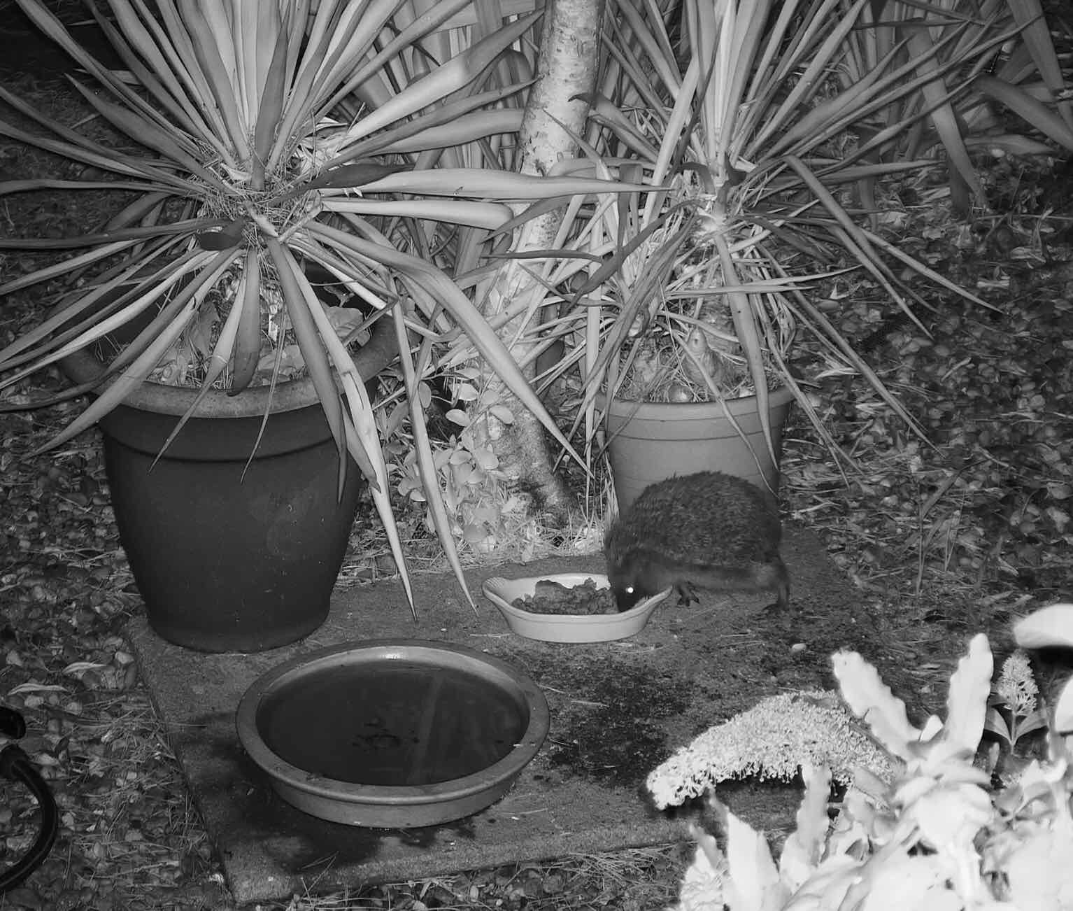 Hedgehog nighttime still